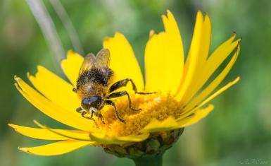 #abeille #flore #faune #macro #été